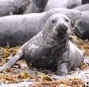 EU court maintains seal fur ban