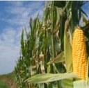 EU Court upholds Italian farmer use of GM crops