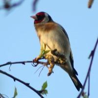EU clips Malta's wings over migrant bird hunts