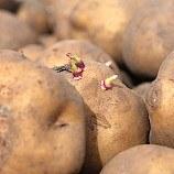 Poland bans cultivation of GM maize, potatoes
