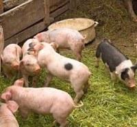 Russian pork ban illegal, WTO confirms
