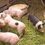 WTO rules Russian EU pork ban illegal